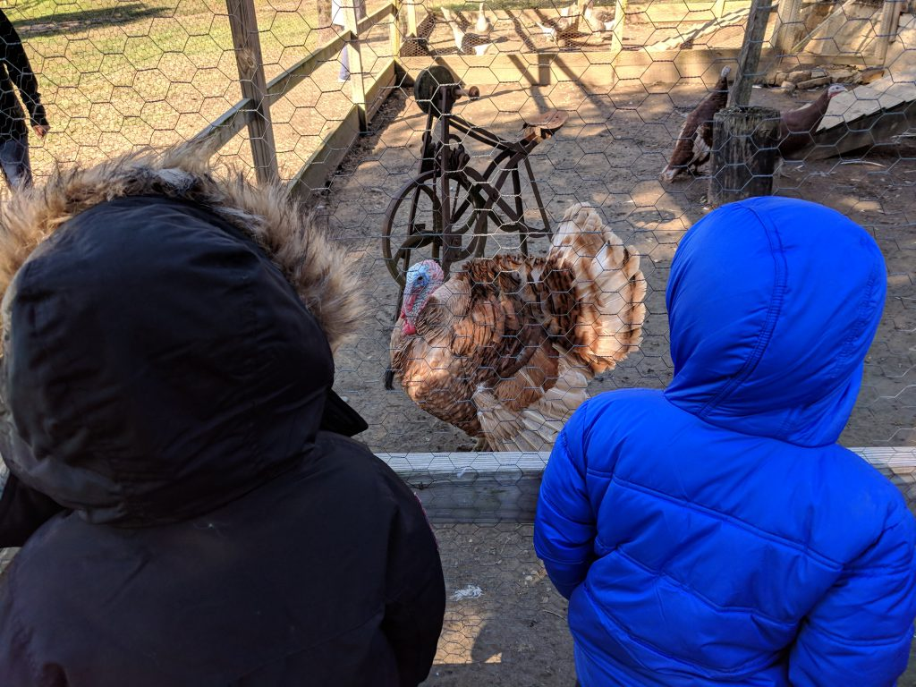 Students look and learn about a turkey.